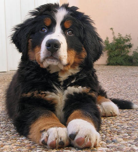 hunter-the-bernese-mountain-dog