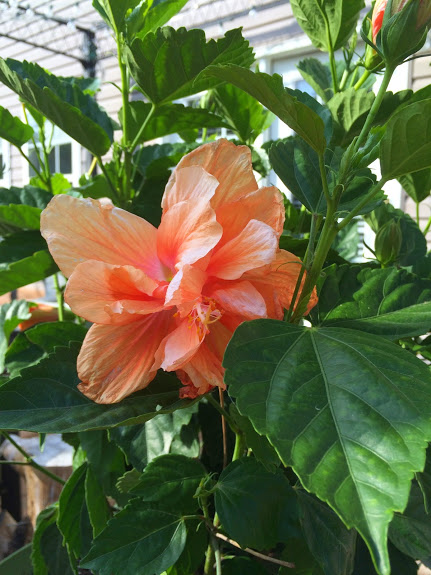 Hibiscus plant from my mother in-law.